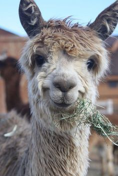 """I pass a farm with alpacas on the way to work every morning. And I say """"Good morning, alpacas! Smiling Animals, Happy Animals, Farm Animals, Animals And Pets, Funny Animals, Cute Animals, Wild Animals, Alpacas, Cute Creatures"""