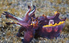 Metasepia pfefferi. pfeffer's flamboyant cuttlefish.