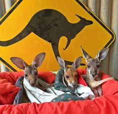 Visit the Kangaroo Sanctuary in Alice Springs, Australia Perth, Brisbane, Melbourne, Sydney, Australian Icons, Australian Animals, Australia Day, Australia Travel, Animals Beautiful