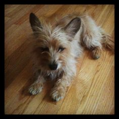 White Cairn Terrier Dog Cost Medford Or Cairn Terrier Puppies For