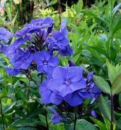 Phlox panculata 'Blue Paradise' (Summer Phlox)