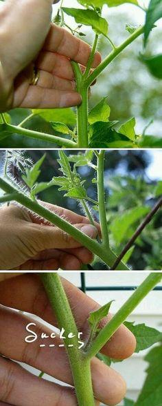 comment poser des tuteurs pour les plants de tomates. Black Bedroom Furniture Sets. Home Design Ideas