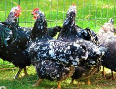 Java Chicken The Java is one of the oldest American Chicken breeds, which was the basis for many other breeds such as; the Jersey Giant, the Plymouth Java Chicken, Poultry Breeds, Rhode Island Red, Plymouth Rock, Brown Eggs, Broody, Chicken Breeds, Future, Animals