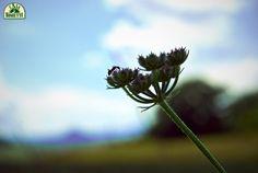 Dandelion, Nature, Flowers, Plants, Naturaleza, Dandelions, Plant, Taraxacum Officinale, Nature Illustration