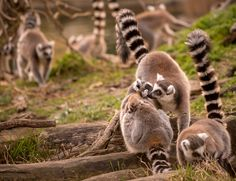 Welcome To The Family by Mario Ciperle on Welcome To The Family, Lemur, Madagascar, Mario, Children, Kids, Child, Babys, Babies