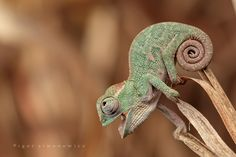 Chameleon:) i will name him Pascal!
