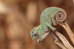 Baby Chameleon  (HIMYM: Cham-a-Leon)