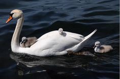 Beautiful Swan, Most Beautiful Birds, Baby Animals, Cute Animals, Muscovy Duck, Baby Swan, Mute Swan, Eco Architecture, Prospect Park