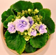 Winnergreen african violet plant