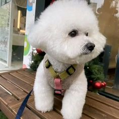 Cortes Poodle, Bichons, Cute Puppies, Amen, Teddy Bear, Marvel, Dogs, Girl Rooms, Pet Dogs