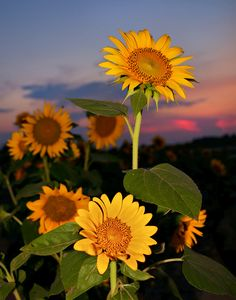 Sunflower Sunset.... soooo gorgeous a pin of sun flowers!!! still sooo tormented about it being my fav flower, because I feel the same about the red geramium!!!!