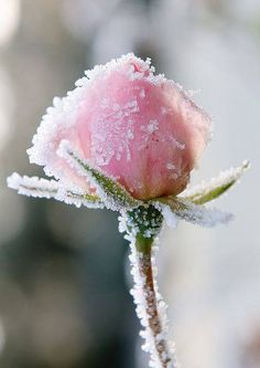 Frost Rose Pink ~ Another pretty photo to frame!