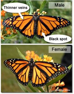 Photo Gallery from Slideshow: Do You Know a Monarch When You See One? | Practice With Monarch Butterfly Identification