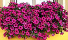 Verbena, pianta perfetta per il balcone fiorito - Idee Green ...