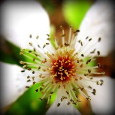Stamen Study: macro floral fine art photograph print of white wildflower (prunus) in nature with brown, red, and green... by UninventedColors on Etsy