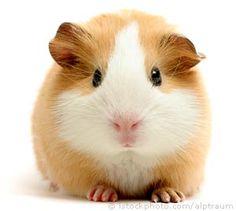 Cavia / Guinea pig