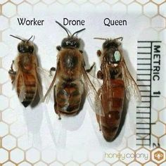 Identifying honey be...