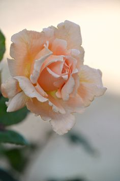 Apricot rose in my garden (Wil 4857)