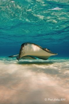 #Stingray underwater photo in Cayman Islands