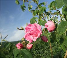 Kazanlak Rose in Bulgaria