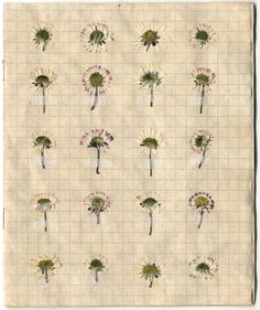 Lynnette Miller, Cymru (Wales). Tea stained exercise book containing pressed daisies from different locations.