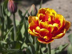 Tulipan/Tulip