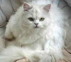 ... some reputable Persian Cat breeders from around the United States