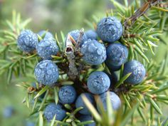 Juniper Tincture – The Best Remedy for Water Retention and Kidney Disorders - http://topnaturalremedies.net/natural-treatment/juniper-tincture-best-remedy-water-retention-kidney-disorders/