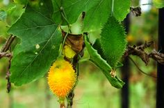 Mormordica dioica - Teasle Gourd