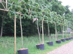 Pleached lime trees. Pleaching is a technique to weave the branches of trees into a hedge. Branches in close contact may grow together, due to a natural phenomenon called inosculation, a natural graft.