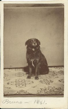 1861 cdv of Bruno, a very noble-looking dog. Dog's name and year written in pencil on front of card. No photographer's identification. From bendale collection