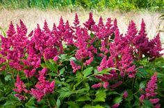 Astilbe Eine Pflanze Im Schatten Gedeiht Pflanzen Schattenblumen Staudenwinterharte