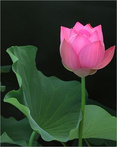 Learn about the lotus flower meaning as well as see pictures of various types of lotus flowers. Blue, white, and Egyptian lotus flower meanings and pictures at Lotus Flower Pictures, Flower Images, Flower Art, Flower Bomb, Art Floral, Delphinium, Amazing Flowers, Beautiful Flowers, Lotus Flower Meaning