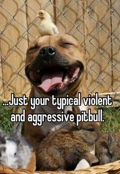 Haha I love this. Pitbulls are such good dogs, however people's ignorance and stupidity get in the way of anyone seeing that..