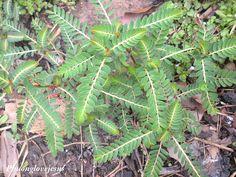 Đây là những cây nhỏ .    These are the young plants.    Vietnamese named :Chó đẻ trái đỏ, Chó đẻ thân đỏ; Cam kiểm; Diệp hạ châu  English names : Chamber bitter, Chanca piedra, Shatterstone,Stone breaker  SCientist name : Phyllanthus urinaria L.  Synonyms