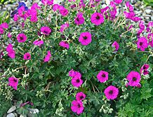 Perennial geraniums  Many perennial geraniums will grow in zones 4 to 8, and do well in full sun to part shade.