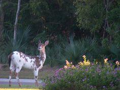 Piebald Deer at Seabrook Island Resort. Seabrook Island, Island Resort, Sweet Life, Beautiful World, Animal Kingdom, Deer, Insects, Creatures, Birds