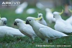A chattering, clattering, cluttering, crackle, or family of sulphur-crested cockatoos