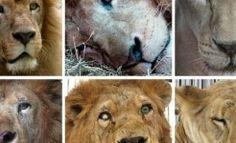 33 leones enjaulados y maltratados durante años en circos recuperan su libertad