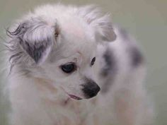 SUPER URGENT 02/12/15 Manhattan Center DIPSY - A1027842 MALE, WHITE / GRAY, CHIHUAHUA LH MIX, 13 yrs OWNER SUR - EVALUATE, NO HOLD Reason INAD FACIL Intake condition EXAM REQ Intake Date 02/12/2015, From NY 10029, DueOut Date 02/12/2015, https://www.facebook.com/Urgentdeathrowdogs/photos/a.617942388218644.1073741870.152876678058553/960798373933042/?type=3&theater
