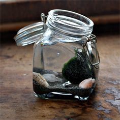 Bring good luck into your home with the easy to grow Marimo moss ball. You don't need a green thumb to raise Marimos!