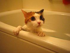 お風呂がニガテな猫もいますが、大好きな猫もいます。びっくりしたり、オドオドしたり……。                                                                                                                                                                                 もっと見る