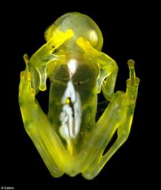 The astonishing transparent frogs of Costa Rica's cloud forest
