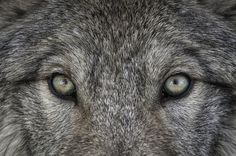 Wolf stare down... by Daniel Parent on 500px
