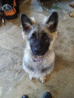 Got my shiloh shepherd! So cute! Shiloh Shepherd, Corgi, Future, Animals, Corgis, Future Tense, Animales, Animaux, Animal