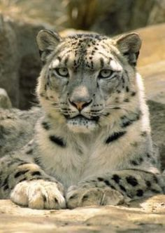 Frontal Portrait of a Snow Leopard's Face, Paws and Predators Stare, Melbourne Zoo, Australia Photographic Print by Jason Edwards at Leopard Face, Snow Leopard, Beautiful Cats, Animals Beautiful, Animals And Pets, Cute Animals, Wild Animals, Baby Animals, Melbourne Zoo