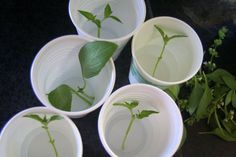 Make more basil from clippings