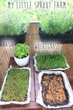 Let food be your medicine and medicine be your food, sprout farm, balcony, garden, wheatgrass, grow sprouts, herbs, herbal garden, urban garden