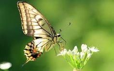 Resultado de imagen de mariposas
