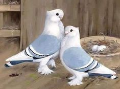 Rare Birds, Exotic Birds, Colorful Birds, Pretty Birds, Beautiful Birds, Animals Beautiful, Pigeon, Animals And Pets, Cute Animals